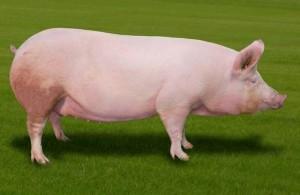 универсальная группа крупная белая свинья