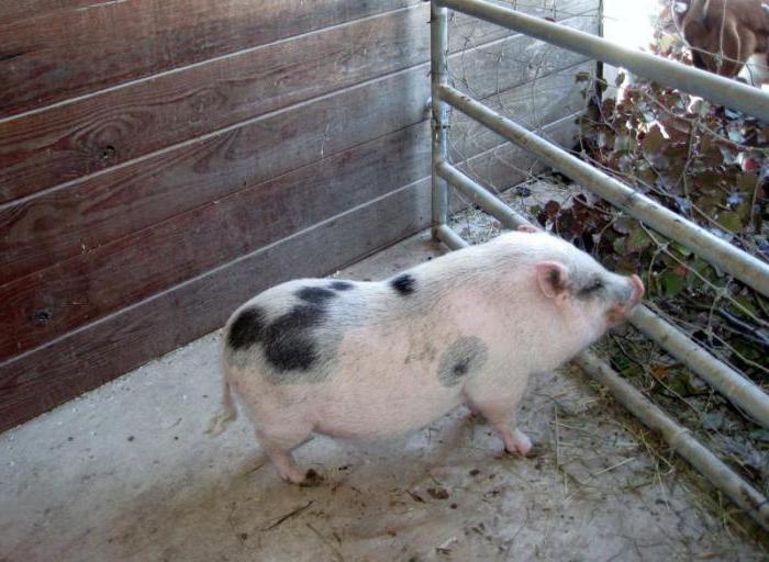 Выращивание вьетнамская свинья 61