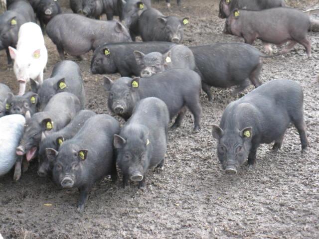 Болезни вьетнамских вислобрюхих свиней и профилактика заболеваний