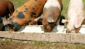 жидкий откорм свиней