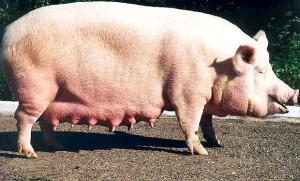 выбор свиноматки