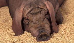свинья для забоя