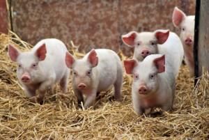 покупка свиней