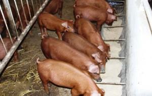 кормление свиней породы дюрок