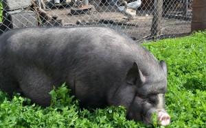 вьетнамская вислобрюхая свинья в зелени