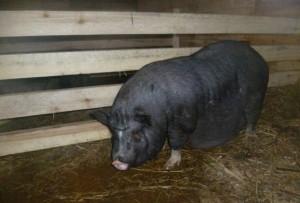 условия содержания супоросной свиноматки