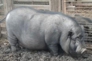 мясная порода свиней вьетнамская вислобрюхая