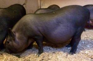 кормление поросят вьетнамской вислобрюхой свиньи