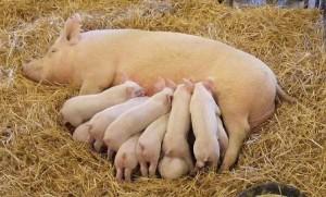 свиноматка кормит поросят