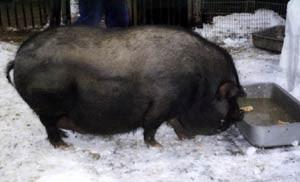 кормление свиньи зимой