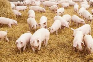 разведение свиней в ангаре