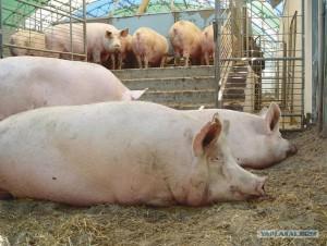 откорм свиней на сало и мясо
