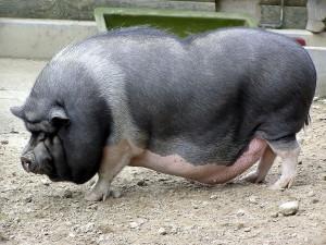 свиноматка вьетнамской породы