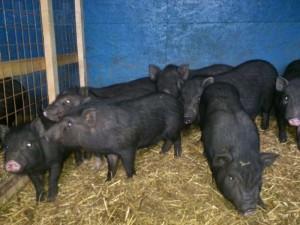 обнаружение заболеваний у свиней