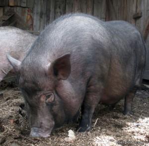 питание вислобрюхой свиньи