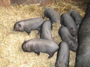 содержание вислобрюхих свиней