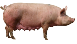 прохолост свиноматки