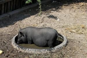 вьетнамская свинья купается в грязи
