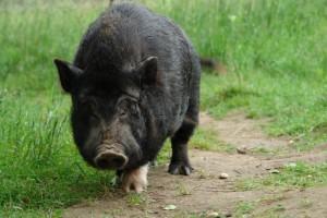 вьетнаская вислобрюхая свинья идет по тропинке