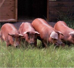 выгул свиней породы дюрок