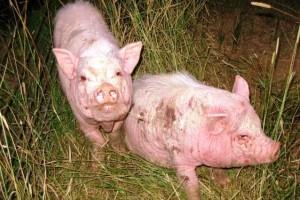 кожные болезни у свиней