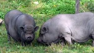 две вьетнамских свиньи