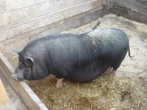 беременная вьетнамская вислобрюхая свинья