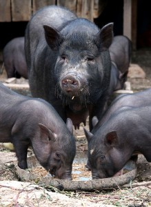 свиноматка с поросятами ест