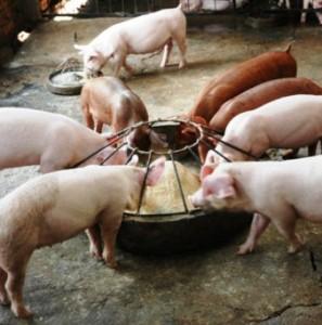 типы кормления свиней