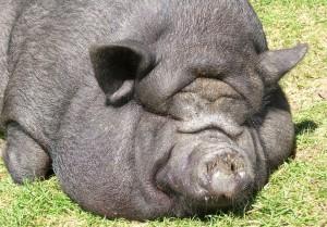 жирная вьетнамская свинья