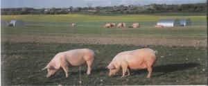 пастбищное содержание свиней