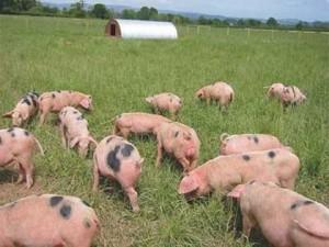 выпас стада свиней