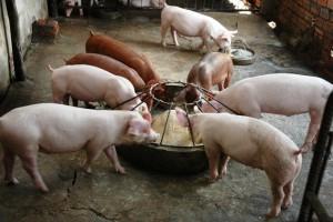 кормушка и поилка для свиней