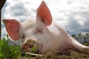 свинья лежит на земле