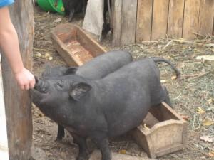 вьетнамские вислобрюхие молодые свиноматки