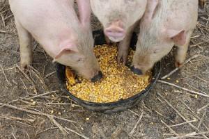три свиньи едят кукурузу