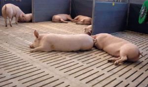 безвыгульный метод выращивания свиней