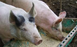 свиньи едят еду с добавками