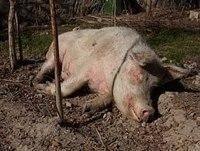 грипп у свиней