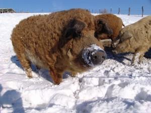содержание венгерских мангалиц зимой