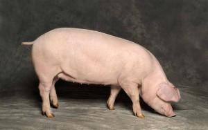 экстерьер породы свиней ландрас