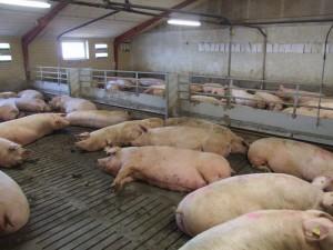 свиньи на откорме в станке