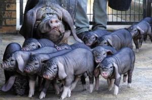 порода свиней мейшан свинья с поросятами