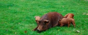 свинья с поросятами породы дюрок на выгуле
