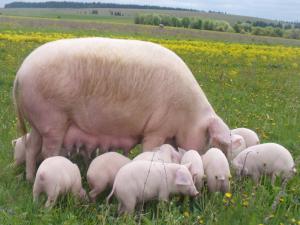 белая степная украинская свинья с поросятами