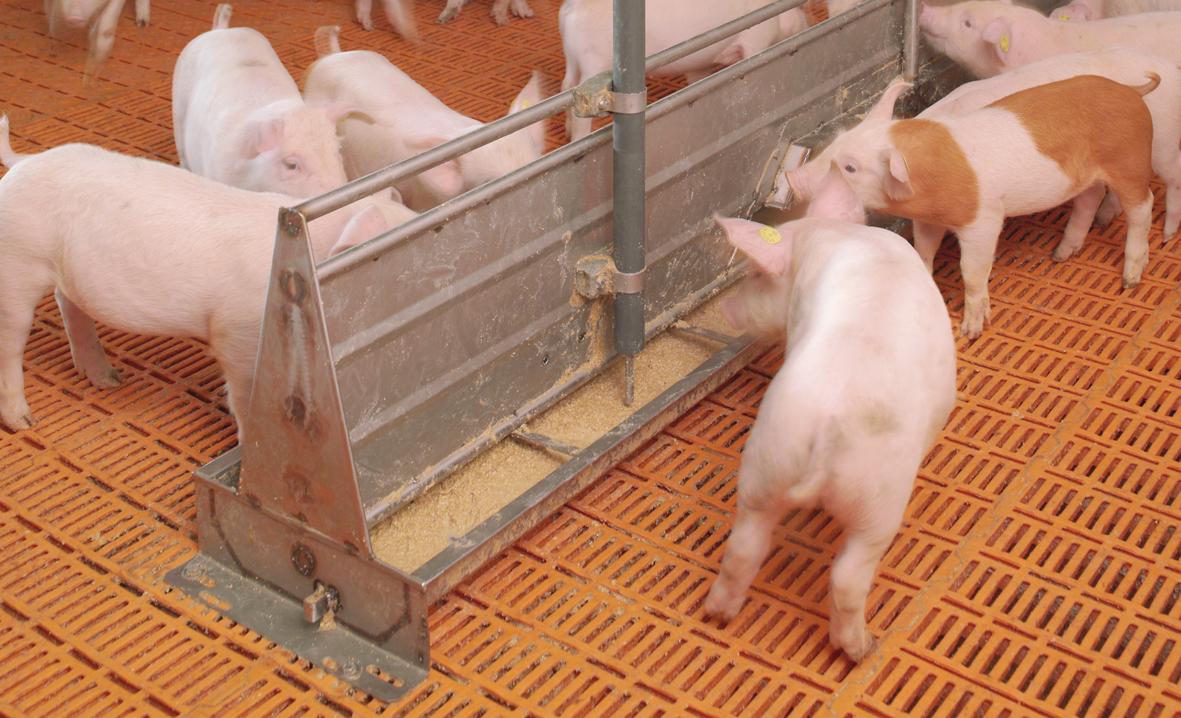 Чем кормить свиней в домашних условиях 518