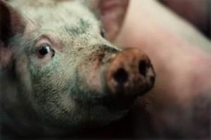 грязная больная свинья