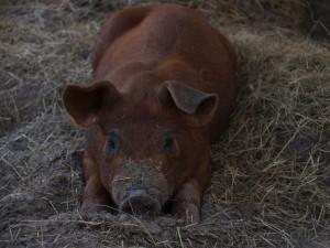 содержание свиней дюрок