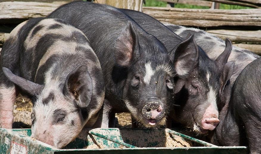 Чем кормить свиней в домашних условиях 136