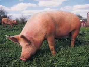 свинья на выгуле ест траву
